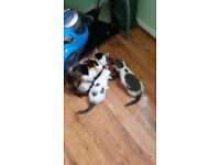 BEAUTIFUL KITTENS MAIN COON LAST ONE FOR GOOD HOME