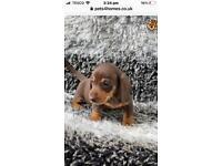 Dachshund puppy 12 wks boy chocolate