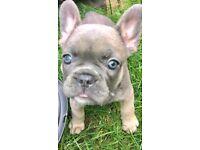 Beautiful Blue & Tan Sable female French bulldog