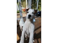 jack russell parson puppies for sale