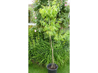 Black Walnut Tree, Juglans Nigra, in Pot. Approx 5 ft. tall