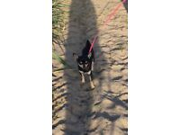 7 month old Black and Tan chihuahua male pup for sale