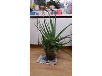 Mature Aloe Vera Plant