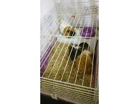 Guinea pigs (2 male)