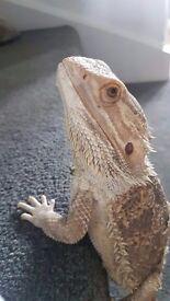 Bearded dragon with vivarium