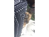 Gorgeous 8 week old teacup pomchi for sale