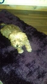 Male mini morkie puppy