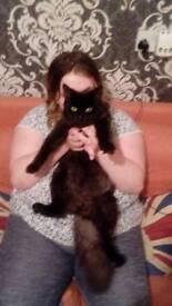 Black half persian male kitten