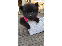 Pomeranian Puppy***just One Left***