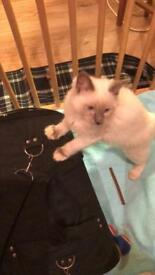 Ragdoll Kitten looking for a Loving Home