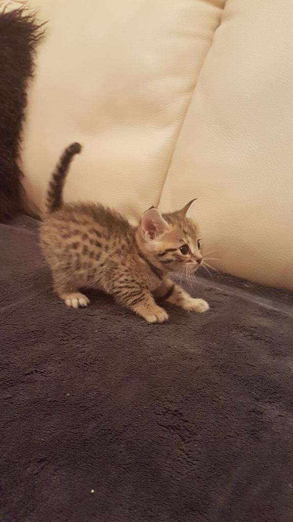 Bengal kittens for sale just 3 kittens left