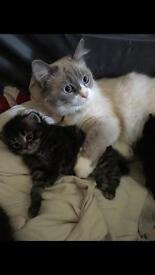 Ragdoll X kittens £150/200 Gillingham
