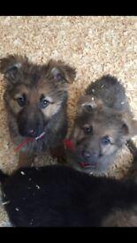11 blue German Shepard puppy's for sale,