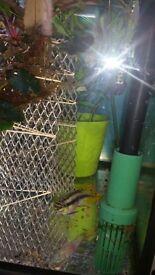 Male Kribensis Cichlids