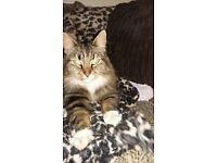 Found Female Tabby Cat