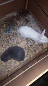 Rabbits white and grey