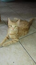 Ginger ketten female 17 weeks old trained ,