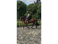 15 HH Arab/Welsh x Mare