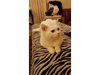 Full pedigree 9 month kitten