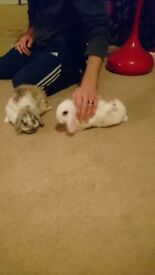 1 female mini lop rabbits 10weeks old