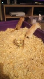 2 female gerbils for sale