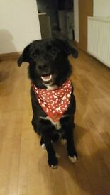 1yr old male Labrador x collie looking for a new home.