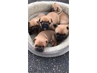 PEDIGREE FAWN FRENCH BULLDOG PUPPIES FOR SALE