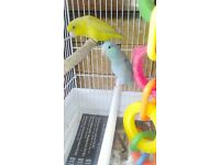 Two parrotlets for sale