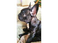 Cute KC registered, French Bulldog (Female)