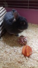 Beautiful blue otter netherland dwarf rabbit for good home only