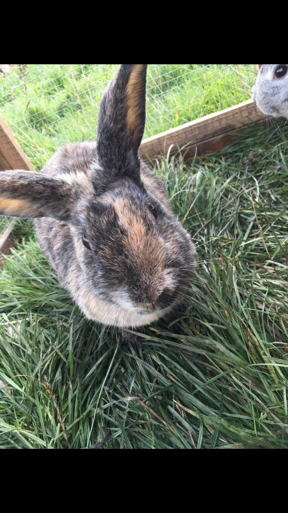 Female harlequin rabbit and hutch