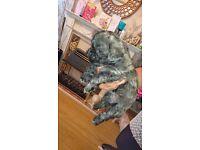Teddybear zuchon puppies