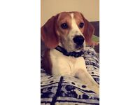 STUNNING 2 Year old beagle looking for a loving forever home.