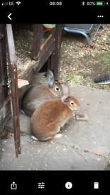 Female red Rex rabbit