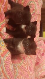 kittens for sale