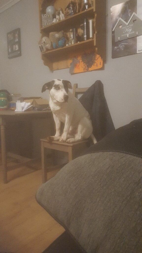 11 month old american bulldog x | in Ruddington ...