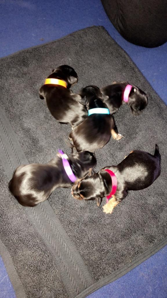Yorkie Russell Pups For Sale In Southside Glasgow Gumtree