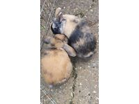 2 FEMALE RABBITS - WITH 6FT HUTCH INCLUDED - FREE TO A LOVING HOME