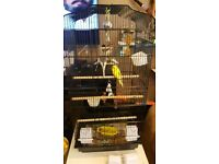 4 young budgies and large cage £120