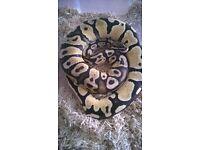 royal python male firefly cb late 15