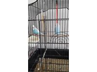 PAIR OF YOUNG BUDGIES PALE BLUE WITH CAGE AND STAND