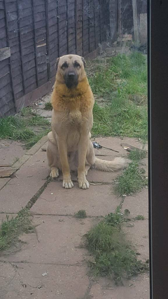 Russian import kangal 13monts | in Studley, Warwickshire | Gumtree