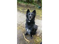 2 year old Collie cross German Shepherd