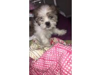 Shih Tzu Male Puppy For Sale