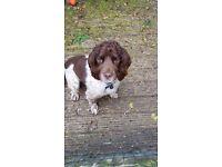 3 year old pedigree Springer Spaniel for Sale