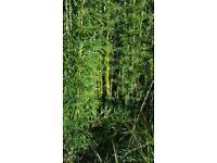 Bamboo poles 5 - 10 per bunch