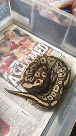 Adult Royal python Mojave