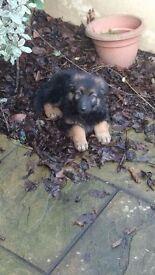 Lovely German Shepherd puppy for sale
