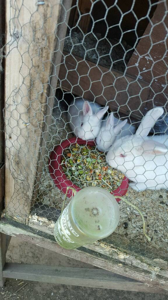 New Zealand white baby rabbits | in Mansfield Woodhouse
