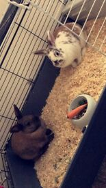 2 female rabbits and indoor cage